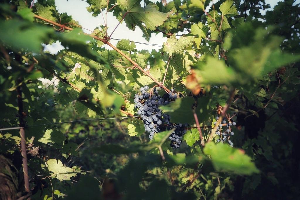 foto Evento Wine Embassy – Vendemmia Maraveja 15 sett. 16