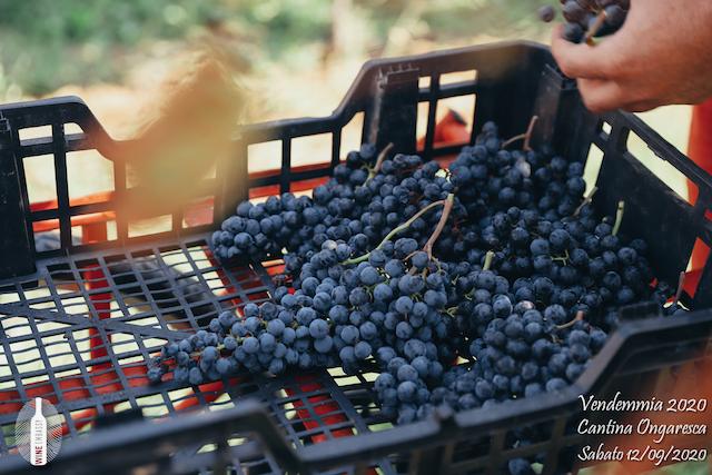 foto Evento Wine Embassy – Vendemmia @ Cantina Ongaresca 12 Settembre 2020 – – 13