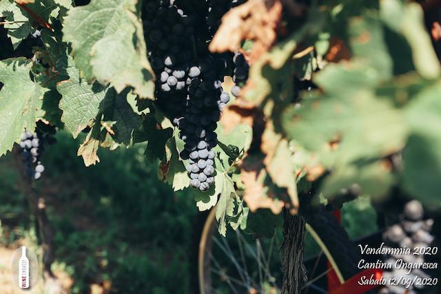 foto Evento Wine Embassy – Vendemmia @ Cantina Ongaresca 12 Settembre 2020 – – 14